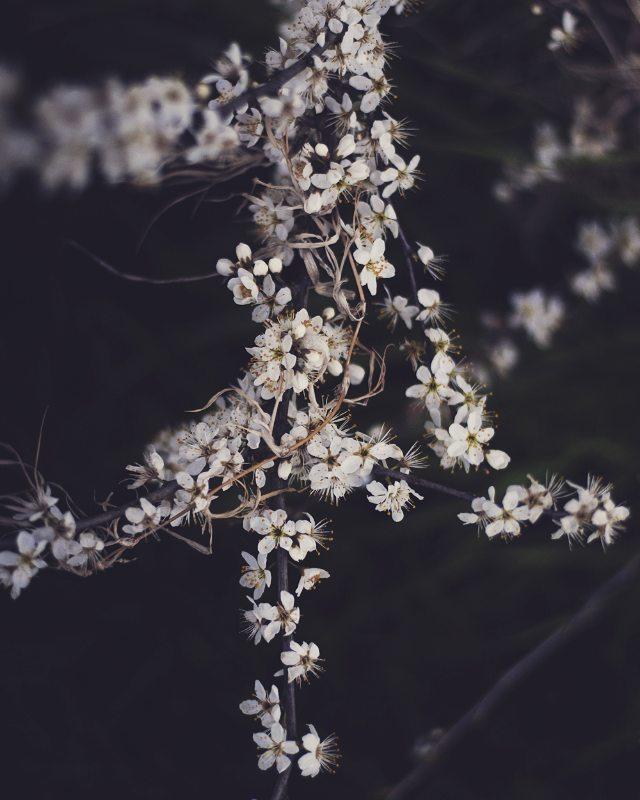 Zdjęcie kwitnącej jeżyny